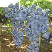 vineyards-red-sort-cherveni-lozi-grozde-palieri